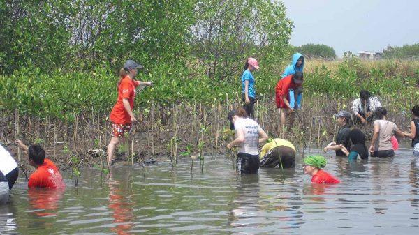 Menanam-Mangrove-Dengan-Relaw