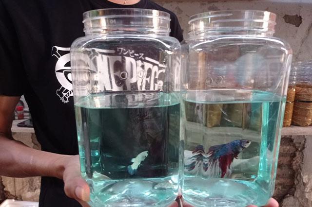 Jual Ikan Hias Cupang Berkualitas